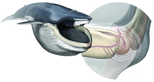 La víscera, ubicada en la mandíbula y nunca antes vista, ayuda a los rorcuales a engullir todo lo que se les ponga por delante, una de las más extremas formas de alimentación