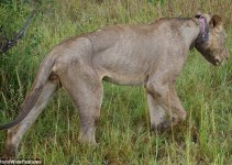 c6382ecc548febcf9702b41806693739 - Un león joven condenada a morir de hambre por la trampa de un cazador furtivo