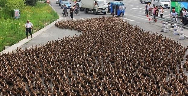 f59311816482a3d5f8c36e096c535c01 - Una marcha de 5.000 patos colapsa el tráfico en una ciudad costera de China
