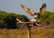 9bc49f0f98c58ee5db9acca9319623a5 - El águila pescadora remonta el vuelo en Andalucía