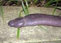c72faa6940e3b8312882aa5ee16111f6 - Nueva serpiente ciega descubierta en el Amazonas