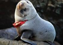 25bfba7431836cae20efc2f79f1f821d - Insólito: foca casi muere ahorcada por una tanga