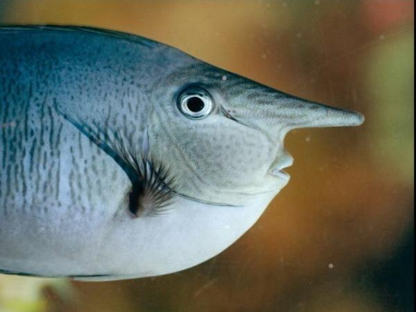 """6de82430b38b891b92065ef336656616 - El pez con """"cara humana"""" tiene intrigado al mundo"""
