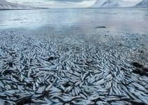 2bab3fe1f5c438a1345c3a32387dad33 - Millones de peces aparecen muertos en un fiordo islandés por causas desconocidas