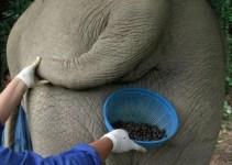 a1e3dec9d5a3ddbb03219cadb44416fc - El café mas caro del mundo es de caca de Elefante