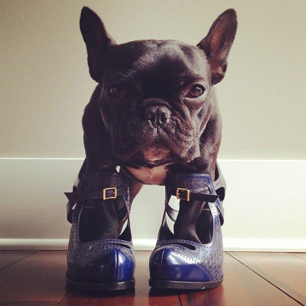 Trotter el bulldog frances mas gracioso de Instagram