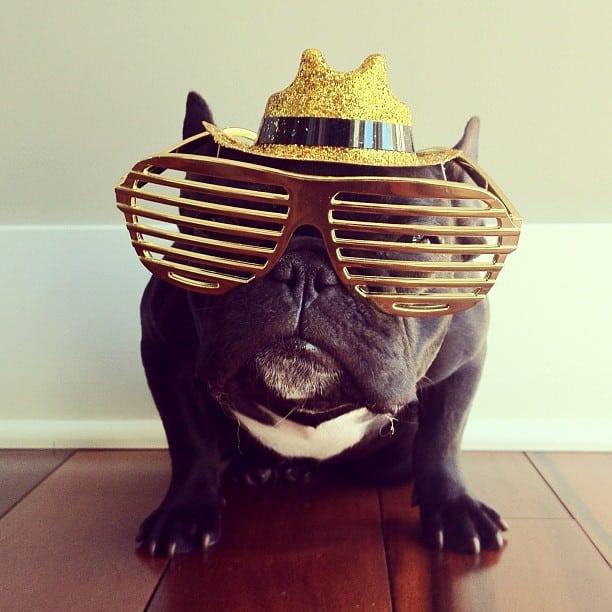 bulldog gracioso 04 - ▷ Trotter el bulldog frances mas gracioso de Instagram 😍