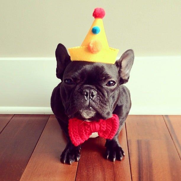 bulldog gracioso 06 - ▷ Trotter el bulldog frances mas gracioso de Instagram 😍