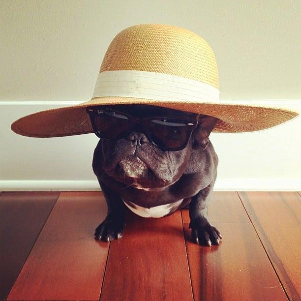 bulldog gracioso 09 - ▷ Trotter el bulldog frances mas gracioso de Instagram 😍