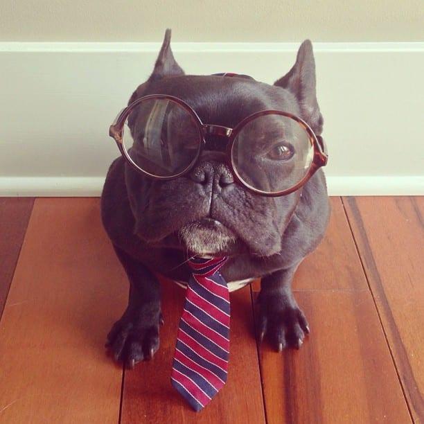 bulldog gracioso 12 - ▷ Trotter el bulldog frances mas gracioso de Instagram 😍