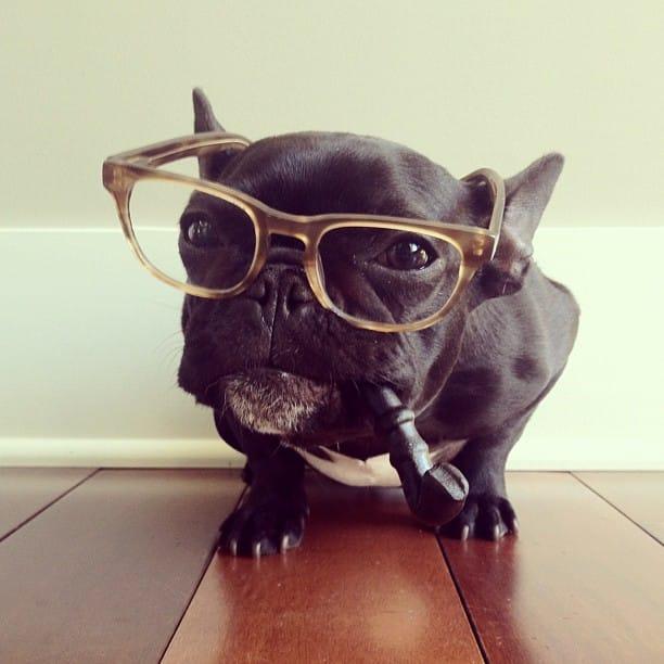 bulldog gracioso 17 - ▷ Trotter el bulldog frances mas gracioso de Instagram 😍