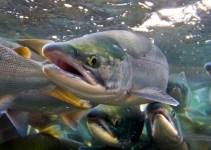 e65a3cb5bf8ddad3661b23ae64e6228c - Campos geomagnéticos ayudan a los salmones a volver al río en que nacieron