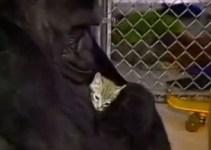 4adf58fb300074ff8a293c2e3ed27c3f - #Video Gorila llora al enterarse de la muerte de su gatito