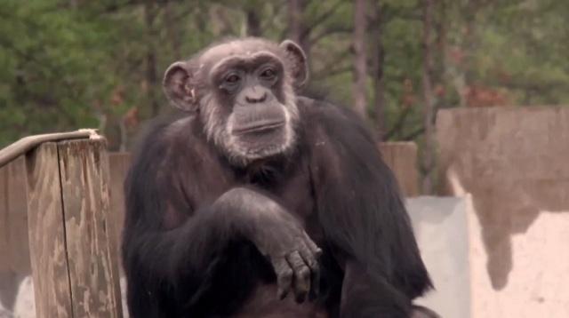 20f470fff63d5a3af8846bd8cab92312 - #Video Un grupo de chimpancés liberados del laboratorio ve el cielo por primera vez en su vida