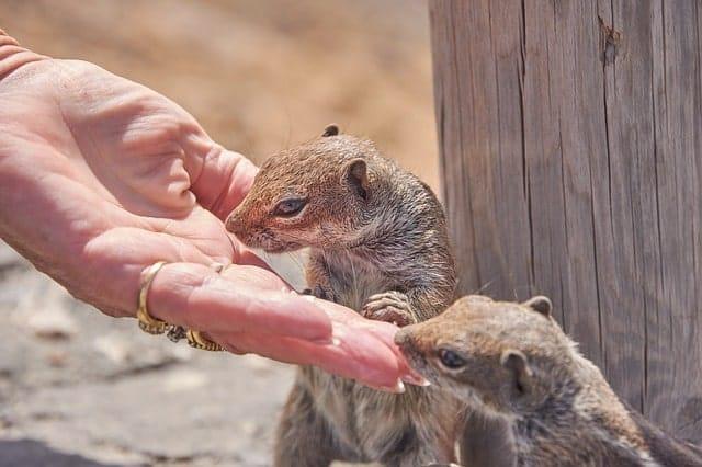 chipmunk 2900351 640 min - Isla de Fuerteventura - Un Paraíso Natural para visitar