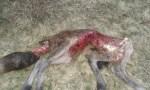 Un ganadero de los Oscos pierde tres crías de asturcón a causa de los lobos 1