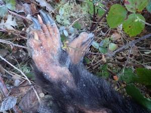 oso muerto Moal