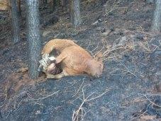 Res muerta por el fuego en el monte de Fonteta (Allande)