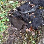 Aparece un oso muerto en Somiedo