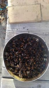 Capturadas en Tineo 1.800 reinas de avispa asiática 1