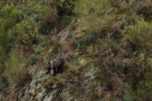 Nuevas aproximaciones para mejorar el seguimiento de las poblaciones de oso pardo 1