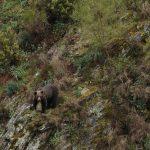 El Principado colabora en el primer censo genético nacional del oso pardo cantábrico