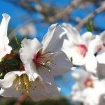Almendros en flor en Ibiza