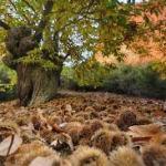 Los 5 mejores lugares para recoger castañas de Salamanca