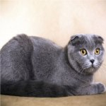 Conheça o Gato Highland Fold