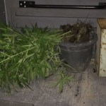 AÇÕES POLICIAIS – Homem é detido com mudas de maconha plantadas em casa em Araruama
