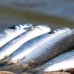 REGIÃO DOS LAGOS – Araruama tem II Feirão do Peixe da Semana Santa até domingo