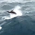 ARRAIAL DO CABO – Baleias jubarte são filmadas por drone perto do Pontal do Atalaia
