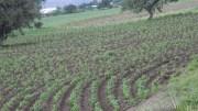 Buscan incrementar producción de maíz y frijol en la región
