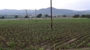 Por falta de lluvias están en riesgo cultivos de la región