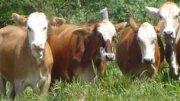 Ranchos ganaderos en peligro de desaparecer por robo de ganado.