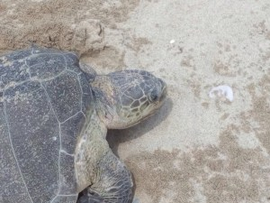 Rescata PROFEPA más de 12 mil tortugas de aduana