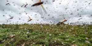 Descarta SADER llegada de plaga de langostas al país