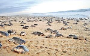 Más de 15 mil tortugas golfinas llegan a Puerto Escondido