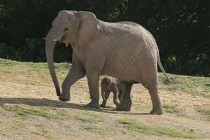 Elefantes africanos en peligro de extinción