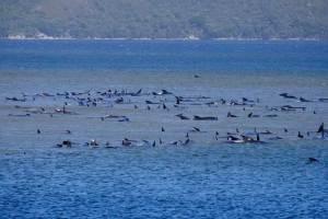 Encallan más 250 ballenas en playas australianas. Mueren al menos 25