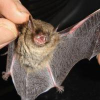 Científicos descubren un virus muy similar al Covid-19 en murciélagos de Laos