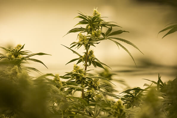 Planta de marihuana Getty Images archivo
