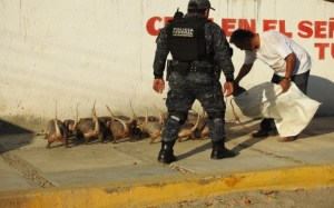 Asegura Profepa ejemplares de vida silvestre en Acapulco (Profepa)