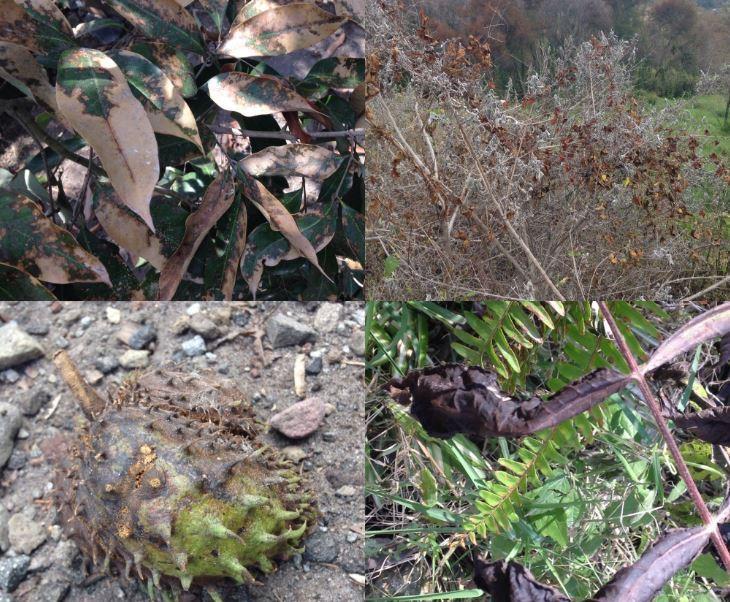 Fruta de cultivos afectada por ceniza (Twitter/@berthareynoso)