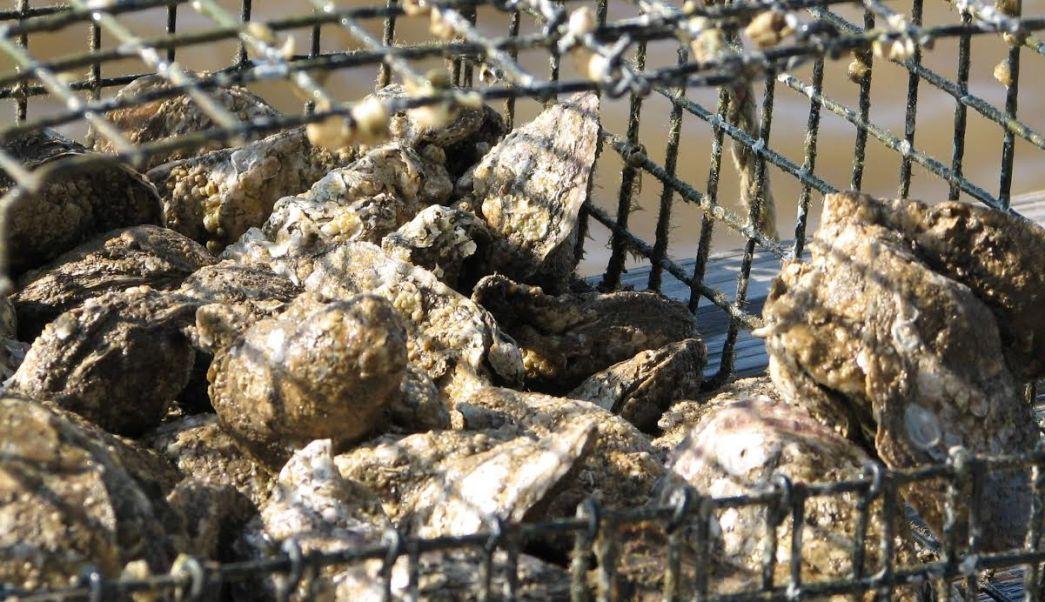 Continúa veda para pesca de moluscos (AP, archivo)