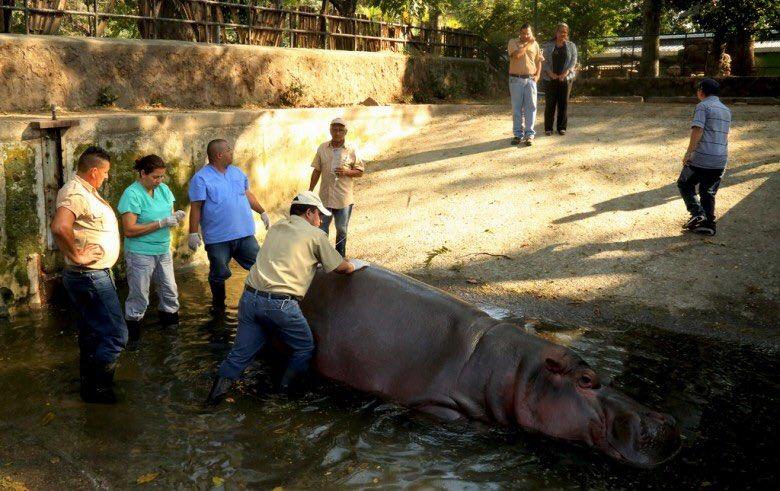 El hipopótamo Gustavito era el más visitado en el Parque Nacional Zoológico de El Salvador.
