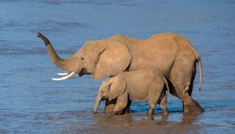 Elefantes africanos cruzan el río de Ewaso Ngiro en la Reserva Nacional de Samburu, en Kenia