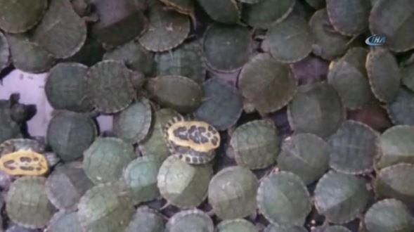 """Las maletas 4,000 crías de tortuga estaban en el interior de tres maletas las cuales contenían cajas de cartón con agujeritos, la leyenda en inglés """"Animales vivos. Solo para exportación"""" y una imagen de una tortuga"""