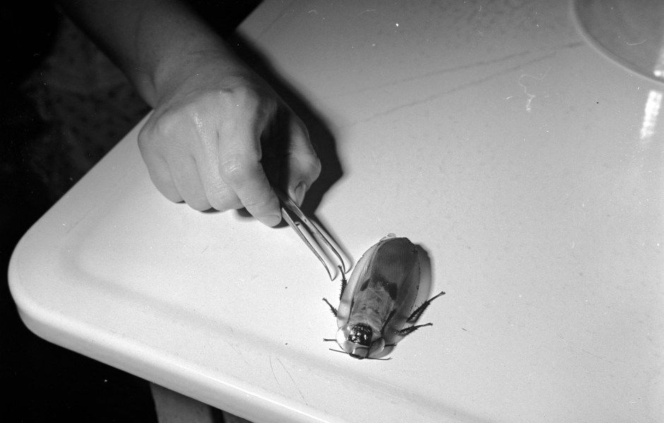 Cucaracha Cráneo India
