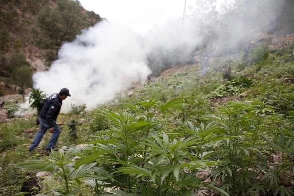 Aspectos de la destrucción de un plantío de marihuana en México